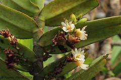 IMG_3498 Calyptrochilum christyanum (Raiwen) Tags: calyptrochilum calyptrochilumchristyanum orchidaceae orchid plant flora africa guinea westafrica guinéemaritime