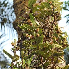 IMG_3484 Calyptrochilum christyanum (Raiwen) Tags: calyptrochilum calyptrochilumchristyanum orchidaceae orchid plant flora africa guinea westafrica guinéemaritime