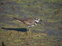 Killdeer (piranhabros) Tags: bird killdeer tulelake animal marsh charadriusvociferus
