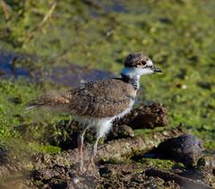 Killdeer chick (piranhabros) Tags: charadriusvociferus bird killdeer chick animal marsh tulelake