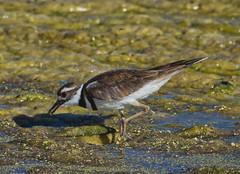 Killdeer (piranhabros) Tags: killdeer bird tulelake eating feeding marsh charadriusvociferus