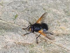 M2291324-M2291326 DMap 2 E-M1ii 150mm iso320 f8 1_250s 0.3 (Mel Stephens) Tags: 20190729 201907 2019 q3 4x3 wide olympus mzuiko mft microfourthirds m43 40150mm omd em1ii ii mirrorless gps uk scotland st monans fife animal animals nature wildlife fauna insect fly best