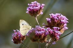 Papillon (clamar18) Tags: butterffly blanc flower verveine insecte nature papillon pieride mérysurcher france