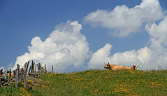 Aubrac (Yvan LEMEUR) Tags: aubrac nuages pastoralisme vaches elevage clôture cumulonimbus aveyron france extérieur landscape paysage