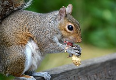 Messy Eater (Eleanor (New account))) Tags: animal squirrel greysquirrel nut kensingtongardens london nikond7100 august2019