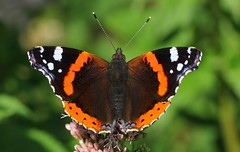 Red Admiral 280719 (3) (Richard Collier - Wildlife and Travel Photography) Tags: butterflies britishinsect insects macro closeup wildlife nature naturalhistory redadmiral