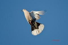 Tortola IMG_4529 (Julian Munilla Rio) Tags: tortolas aves pajaros animales
