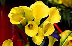 Arum Lily (abrideu) Tags: abrideu canoneos100d arumlily yellow macro bright bokeh depthoffield flowers keukenhof callalilies ngc npc