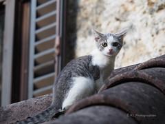 Cat on a roof (H..L) Tags: croatie kvarner slunj cat roof gris animal regard chat olympus m5ii livolsi