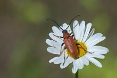 Suur-õiesikk; Anoplodera rubra ♀ (urmas ojango) Tags: mardikalised coleoptera insects insecta beetles putukad suurõiesikk anoploderarubra