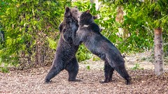 Battle Game - 7238 (✵ΨᗩSᗰIᘉᗴ HᗴᘉS✵85 000 000 THXS) Tags: two game couple duo sony bears battle deux ours pairidaiza hensyasmine sonydscrx10m4