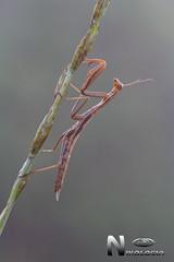 Mantis (Nikologia) Tags: macro mantoidae mantis insecto