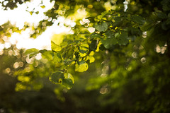 HBW 33/2019: sunset light (Frau Koriander) Tags: sunset sunsetlight light licht nikond750 nikkorscauto55mmf12 mönchbruch nsg naturschutzgebiet blätter leaf leaves blatt summer sommer sommerabende bokeh dof depthoffield happybokehwednesday bokehwednesday hessen nature natur germany deutschland f12