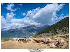 Vacas montañesas (Ignacio Ferre) Tags: vaca cattle livestock pirineos cerler benasque ribagorza huesca aragón españa spain paisaje landscape naturaleza nature nikon montaña mountain ganado pyrenees