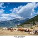 Vacas montañesas