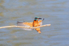 Landing Gear Down! (Linda Martin Photography) Tags: dorset male wildlife bournemouth nature bird northbourne riverstour alcedoatthis kingfisher uk animal naturethroughthelens coth coth5 ngc