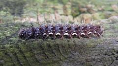 Red Admiral larva, KIngmoor Nature Reserve, 13 August 19 (gillean55) Tags: canon powershot sx60 hs superzoom bridge camera north cumbria kingmoor sidings nature reserve carlisle nnr caterpillar redadmiral vanessaatalanta