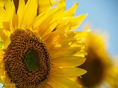 2019 Sunflower #4 (Yorkey&Rin) Tags: 2019 bluesky em5markii hokutocityakeno japan july macro olympus olympusm14150mmf4056ii p7300053 rin summer sunflower sunflowerfestival sunflowerfield yamanashi ひまわりまつり 夏 向日葵 山梨県 七月 青空 北杜市 明野