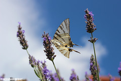 Papillon Tigré du Canada (Elouan Astrowild) Tags: auvergne papillon insecte rivière lavandes plantes ciel nuages montagne fraicheur ailes
