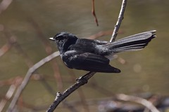 Willie Wagtail (Luke6876) Tags: williewagtail fantail bird animal wildlife australianwildlife nature