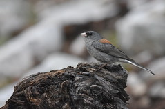 Dark-eyed Junco (Gray-headed) (Christopher Lindsey) Tags: bird birds birding nevada darkeyedjunco nationalpark greatbasin whitepinecounty grayheaded