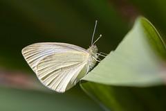 Pieride (clamar18) Tags: papillon butterffly blanc pieride nature jardin france mérysurcher insecte