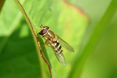 Hoverfly (hedgehoggarden1) Tags: nature insect wildlife creature sonycybershot hoverfly uk sony norfolk eastanglia norfolkwildlifetrust gooderstonewatergardens