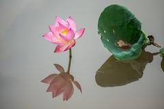 _Y2U0089.0613.Hồng Đà.Tam Nông.Phú Thọ (hoanglongphoto) Tags: asia asian vietnam northvietnam flower lotus nature natureinvietnam canon thiênnhiên hoa hoasen hoasenhồng pinklotus canonef100400mmf4556lisusm blossom lotusblossom cậncảnh close closeup hồngđà tamnông phúthọ northernvietnam canoneos1dx reflection soibóng phảnchiếu