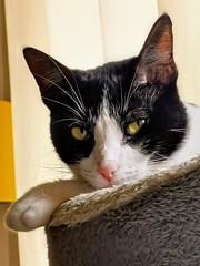 Godzila the cat (stephprad) Tags: chat cat felin felix