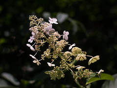 Bright blossoms (Thomas Cizauskas) Tags: flower bloom blossom shrub summer vistagrove dekalb georgia alternativelens cctv cinelens bokeh swirlybokeh