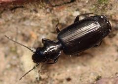 3.6 mm carabid beetle (ophis) Tags: coleoptera adephaga carabidae harpalinae harpalitae lebiini dromiusina apristus apristuslatens groundbeetle