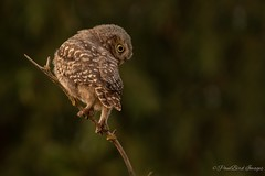 The Worm Hunter (budgiepaulbird) Tags: owls littleowl owlet hunting perched canon7dmark2 100400mark2