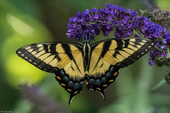 Sipping the nectar (Fred Roe) Tags: nikond7100 nikonafsnikkor200500mm156eed nature naturephotography national wildlife wildlifephotography animals insect butterfly easterntigerswallowtail papilioglaucus colors outside flickr macro backyard fav2019