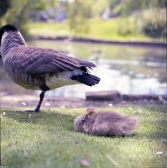 ° (°Bracket) Tags: hasselblad501cm planarcb80mmf28 fujipro400h film london 6x6 mediumformat 120 analogue animal duck cute baby