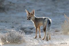Who is afraid of a.....Cape Fox? (Jambo53 ()) Tags: capefox crobertkok kgalagaditransfrontierpark southafrica zuidafrika nikond800 nikon500f4 dof