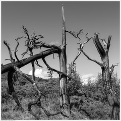 _DSC2383-Enhanced (alexcarnes) Tags: dead tree hen cloud leek staffordshire alex carnes alexcarnes nikon d850 sigma 28mm f14 art