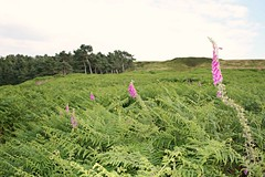 Foxglove on the moor (jumcesex12) Tags: ilkley moor yorkshire dales
