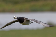 "Barnacle goose ""branta leucopsis"" (michael.jh) Tags: sigma500mmf4 birds bird nature michaeljh canoneos7dmark11 barnacle goose brantaleucopsis slimbridge wwt"