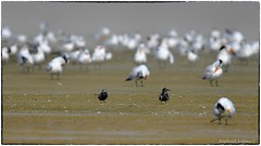 Black Tern (RKop) Tags: florida fortdesotostatepark raphaelkopanphotography blacktern d500 600mmf4evr