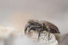 Unknown Jumping Spider (Salticidae) - Dordogne, France (1 of 2) (willjatkins) Tags: animal nature wildlifeofeurope europeanwildlife arachnids arachnid arachnidsofeurope europeanspiders spider spiders spidersofeurope jumpingspider jumpingspiders salticidae frenchwildlife french spidersoffrance frenchspiders frenchjumpingspiders jumpingspidersoffrance frenchsalticidae salticidaeoffrance dordognewildlife dordogne dordognespiders spidersofthedordogne nikond610 nikon sigma105mm closeupwildlife closeup macro macrowildlife