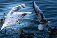 MoewenSchwaene (Allbeautifulthings) Tags: tiere vögel möwen rhein rheinufer mainz