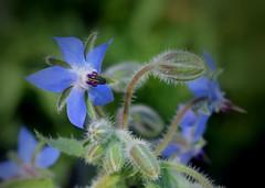 Borage (jmunt) Tags: boragoofficinalis borage starflower