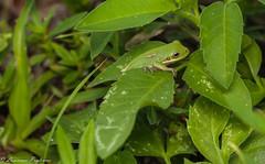Green tree frog - Kissimmee Prairie Preserve, Okeechobee, Florida (superpugger) Tags: frog frogs amphibian amphibians herptiles herping herps treefrogs treefrog outdoors nature wetlands animal wildlife lpugliares lawrencepugliares