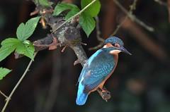 martin-pêcheur / Alcedo atthis A9A_9110 (Bernard Fabbro) Tags: alcedo atthis martinpêcheur eisvogel kingfisher oiseau bird