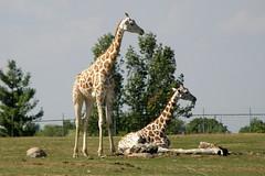 African Lion Safari (Tiger_Jack) Tags: africanlionsafari canada zoo zoos zoosofnorthamerica itsazoooutthere animals animal giraffes giraffe