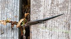 Nature of Ruskis (aixcracker) Tags: bird fågel lintu lizzard sisilisko ödla nature natur luonto suomenluonto natureoffinland ruskis porvoo borgå suomi finland nikond500 sigmas150600mmf5063 august augusti elokuu summer sommar kesä