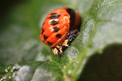 Metamorphosis. (danaubie) Tags: pupae insect beetle metamorphosis nature outdoors