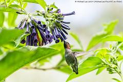 Anna's Hummingbird (20190803-DSC07662) (Michael.Lee.Pics.NYC) Tags: sanfrancisco goldengatepark botanicalgarden hummingbird bird annashummingbird bokeh feeding nectar sony a6500 fe100400mmgm 14xtc
