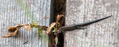 Nature of Ruskis (aixcracker) Tags: bird nature natur lizzard porvoo luonto fågel lintu ödla sisilisko ruskis suomenluonto natureoffinland summer suomi finland august sommar kesä augusti borgå elokuu nikond500 sigmas150600mmf5063