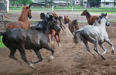 (karoltrojniel) Tags: horse nature arabian horses arabianhorses